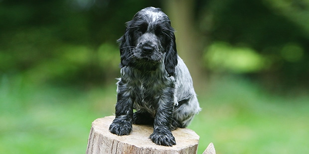cocker-spaniel-anglais-english-chiot
