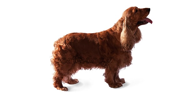 cocker-spaniel-anglais-english