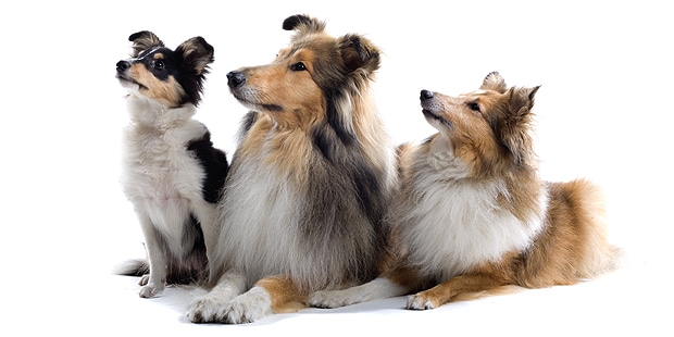 collie-poil-long-rough-colley-famille