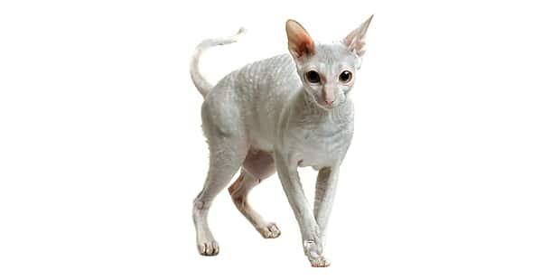 chat-cornish-rex-blanc