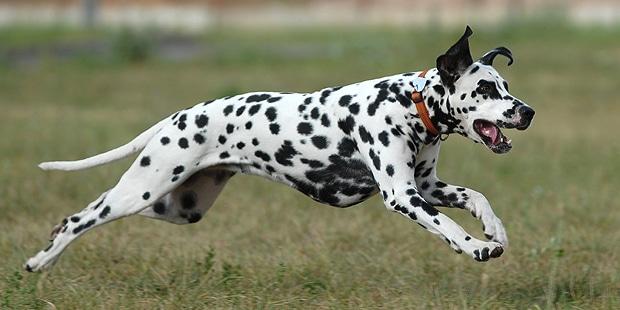 chien-dalmatien-courir