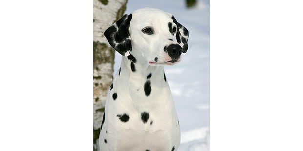 chien-dalmatien-neige