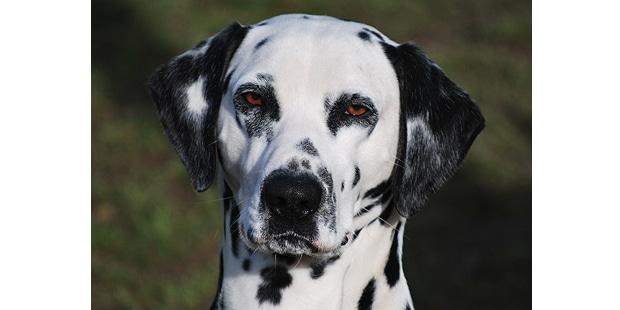 chien-dalmatien-portrait
