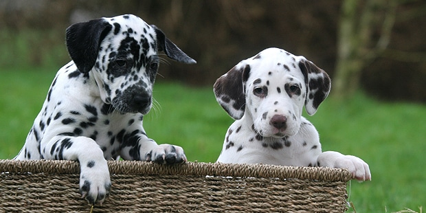 chien-dalmatien-chiots
