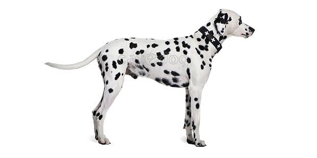 chien-dalmatien