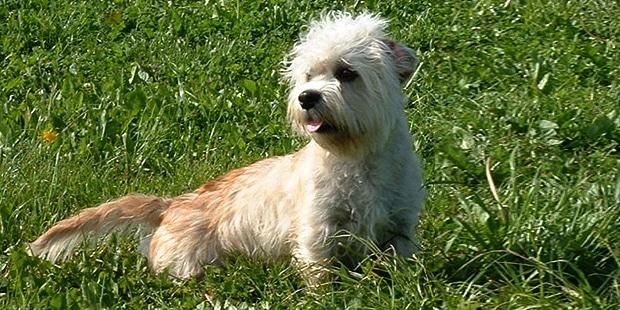 chien-dandie-dinmont-terrier-prairie