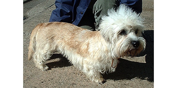 chien-dandie-dinmont-terrier-exterieur