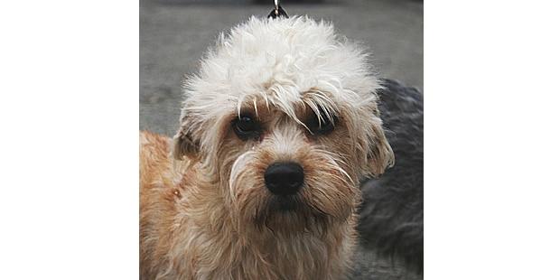 chien-dandie-dinmont-terrier-portrait