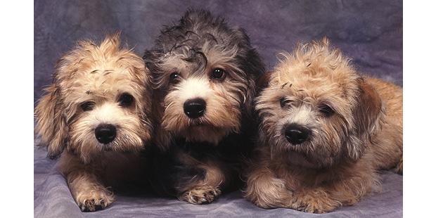 chien-dandie-dinmont-terrier-chiots