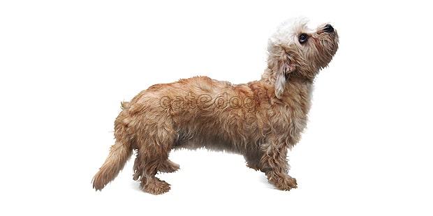 chien-dandie-dinmont-terrier