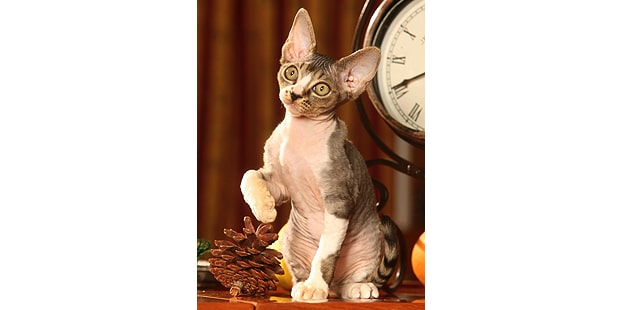 chat-devon-rex-assis