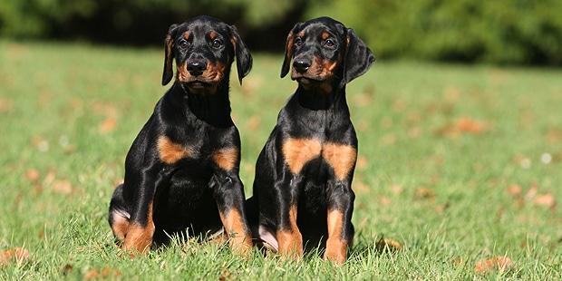 chien-dobermann-chiots