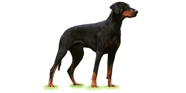 chien-dobermann