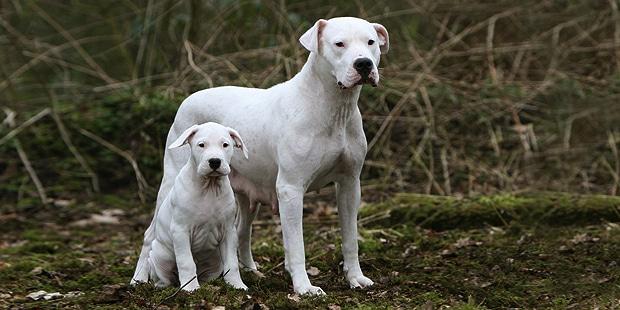 chien-dogue-argentin-dogo-argentino-femelle