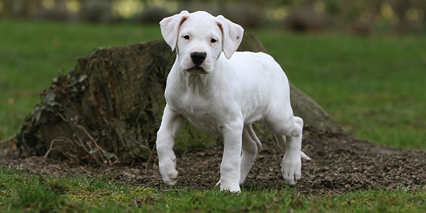 chien-dogue-argentin-dogo-argentino-chiot