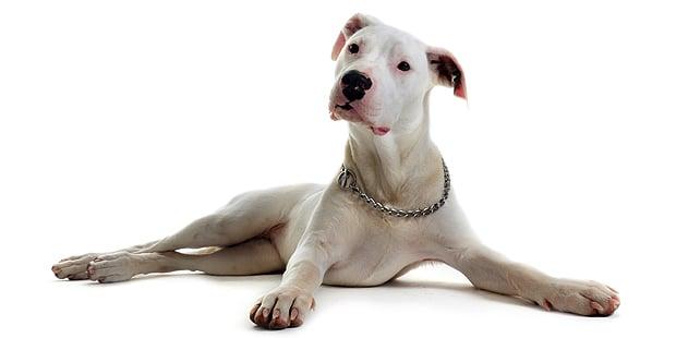 chien-dogue-argentin-dogo-argentino-couche