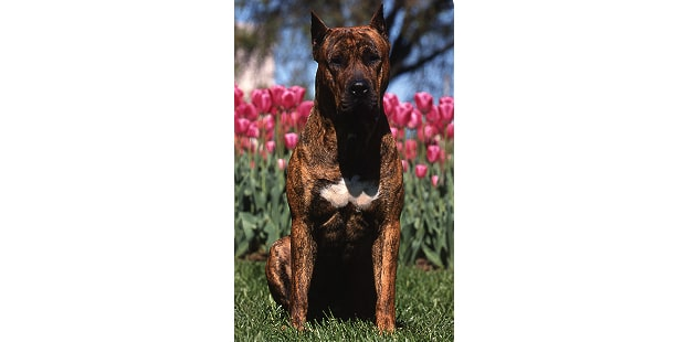 dogue-des-canaries-dogo-canario-tulipes