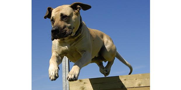 dogue-des-canaries-dogo-canario-agility