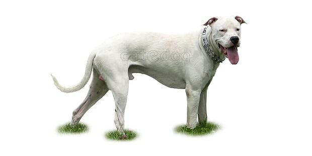 chien-dogue-argentin-dogo-argentino