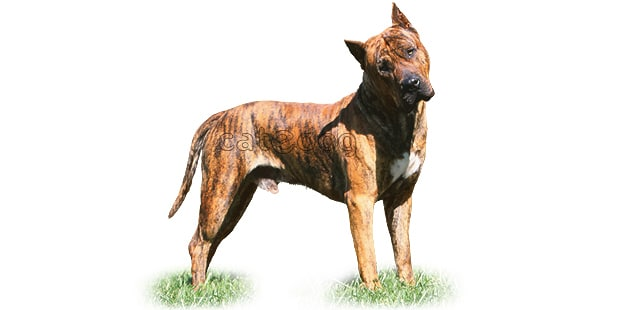dogue-des-canaries-dogo-canario