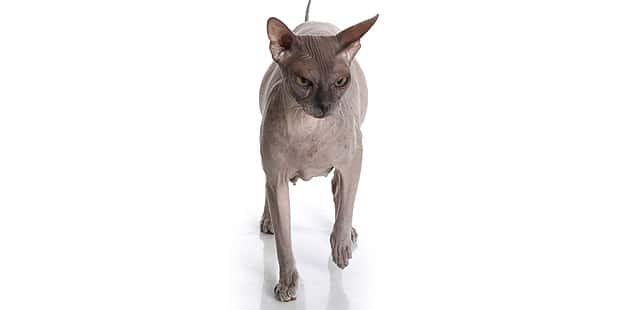don-bald-cat-hairless-donskoy-face