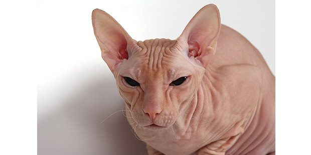 don-bald-cat-hairless-donskoy-portrait