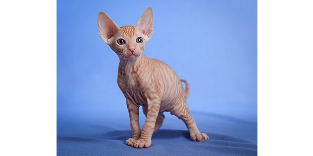 don-bald-cat-hairless-donskoy-chaton