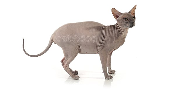 don-bald-cat-hairless-donskoy