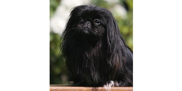 epagneul-pekinois-Pekingese-Peking-Palasthund-noir