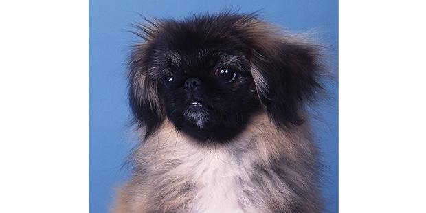 epagneul-pekinois-Pekingese-Peking-Palasthund-chiot