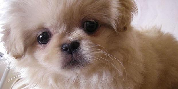 epagneul-pekinois-Pekingese-Peking-Palasthund-portrait
