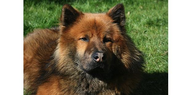 chien-eurasier-eurasian-couche