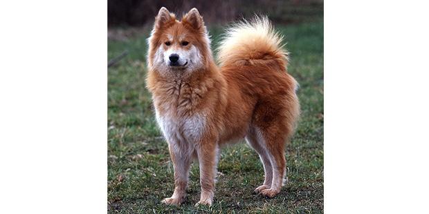 chien-eurasier-eurasian-champs