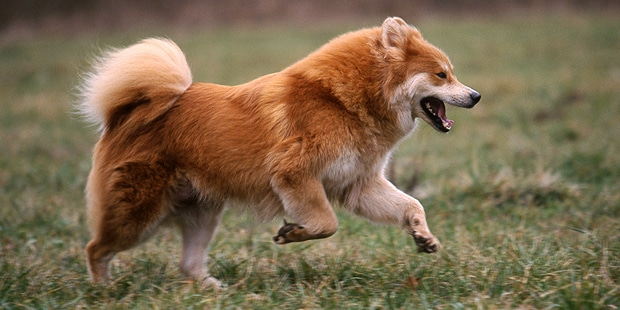 chien-eurasier-eurasian-courir