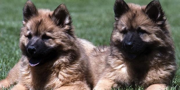 chien-eurasier-eurasian-chiots