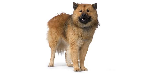 chien-eurasier-eurasian