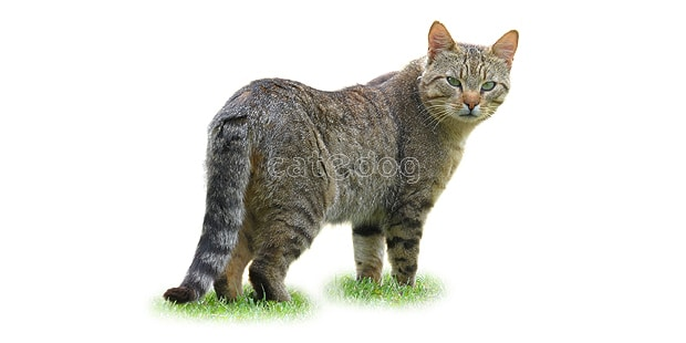 chat-european-shorthair-europeen