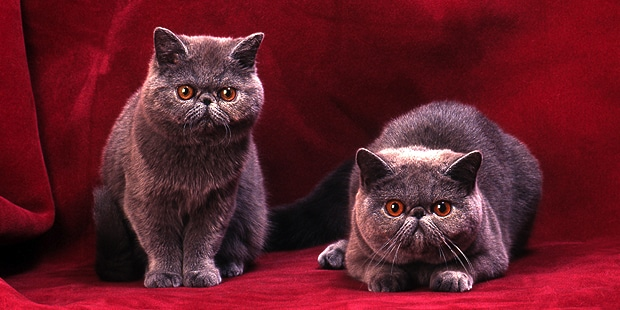 chat-exotic-shorthair-couple