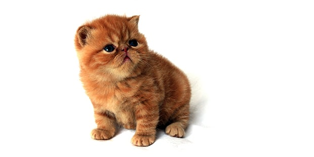 chat-exotic-shorthair-chaton
