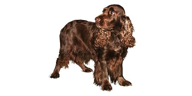 chien-field-spaniel