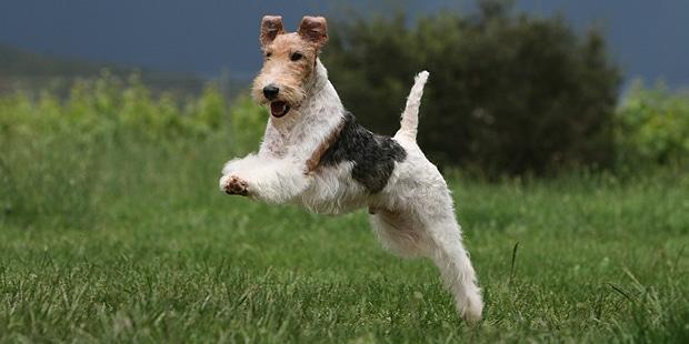 fox-terrier-poil-dur-wire-courir
