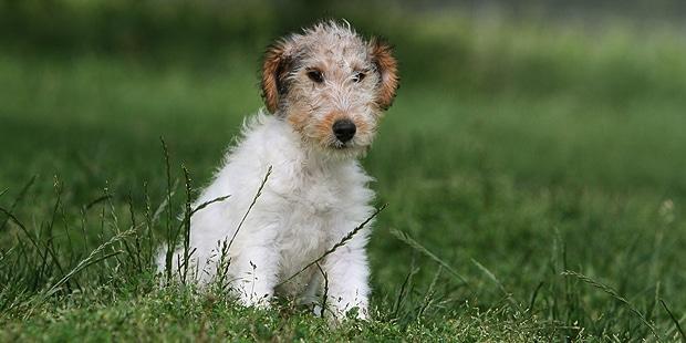 fox-terrier-poil-dur-wire-chiot