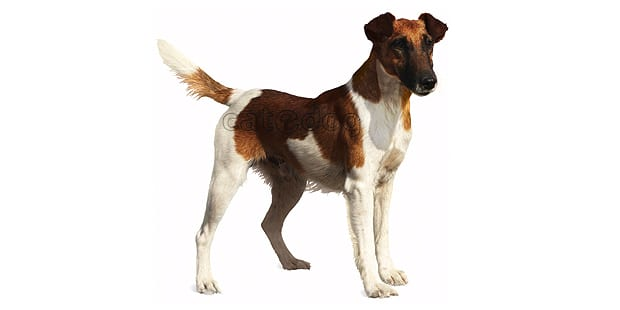fox-terrier-poil-lisse-smooth