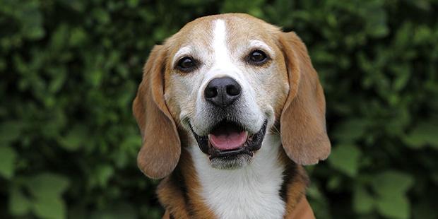 foxhound-americain-american-portrait