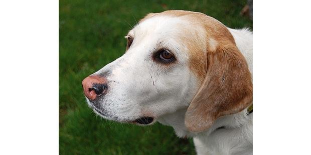 foxhound-anglais-english-portrait