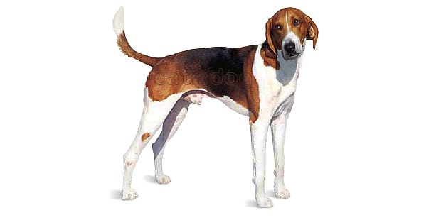 foxhound-americain-american