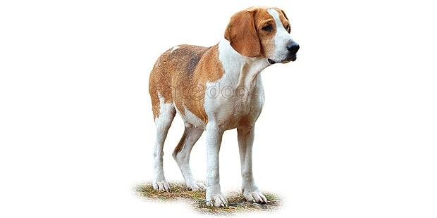 foxhound-anglais-english