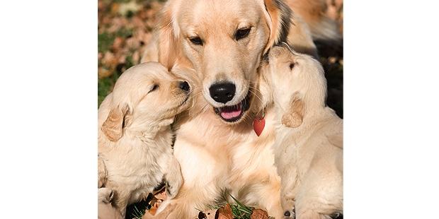 chien-golden-retriever-calin-chiots