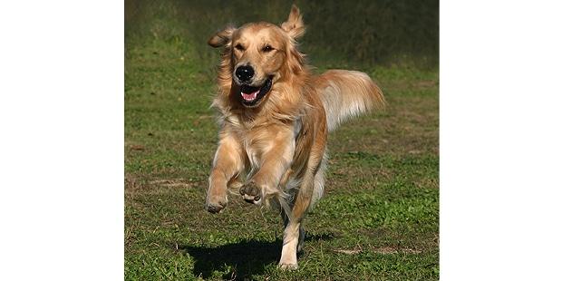 chien-golden-retriever-courir