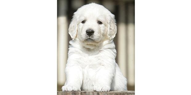 chien-golden-retriever-portrait-chiot